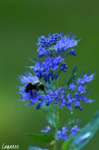 Caryopteris 'Bluebeard'