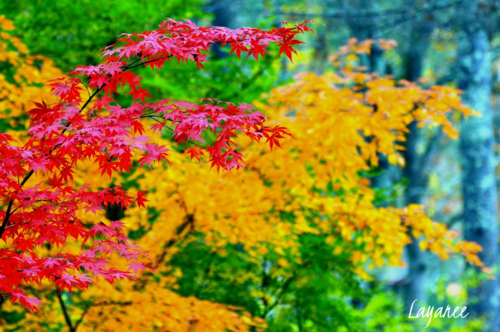 Red and yellow maple