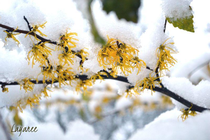 Witch hazel snow