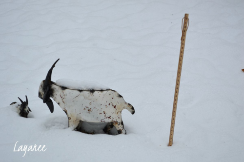 Goats and yard stick