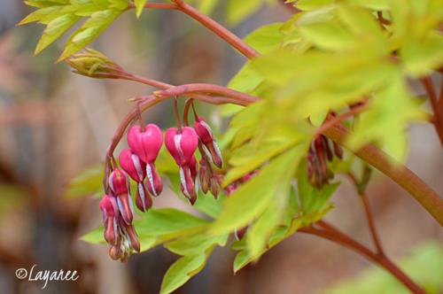 Gold Bleeding heart