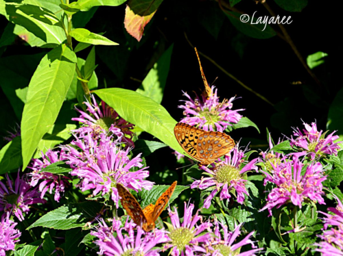 Bee balm and butterflies