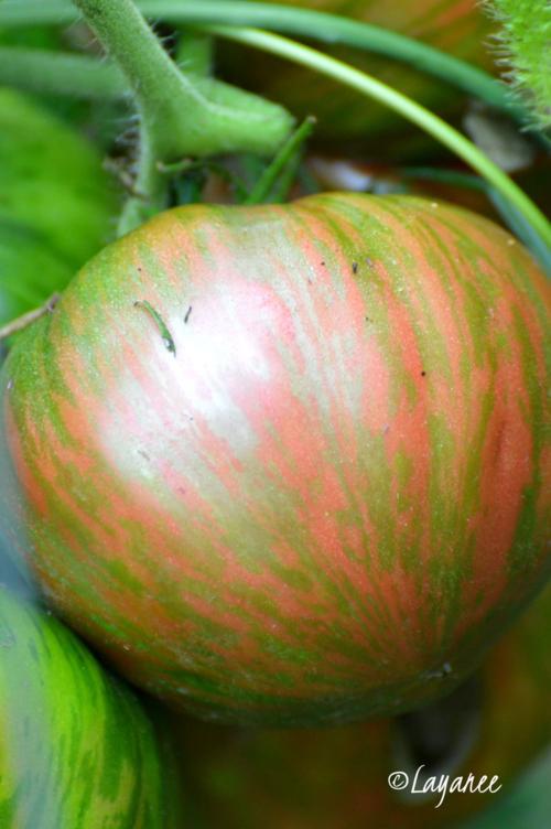 Pink Berkeley tomato