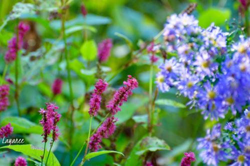 Persicaria and aster