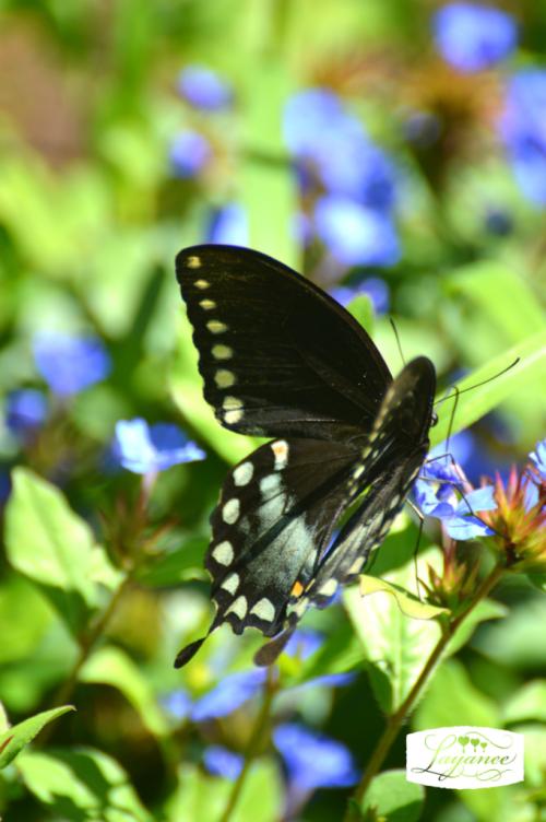 Bloomdayblackbutterfly