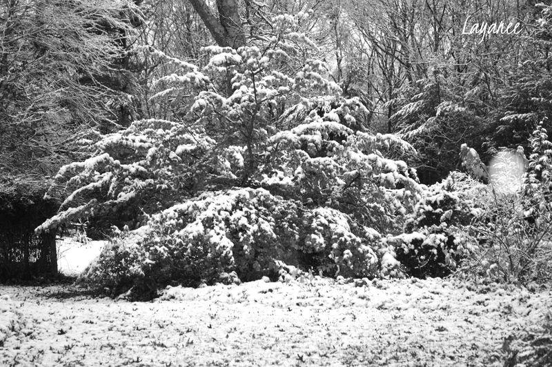 Black & White Parrotia