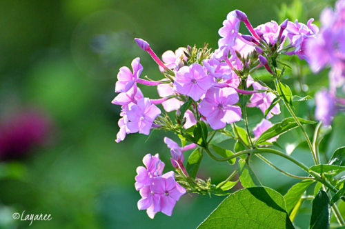 Phlox volunteer