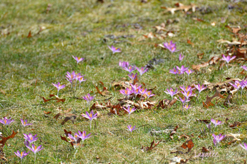 Patch of crocus