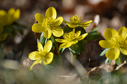 Winter Aconite 17