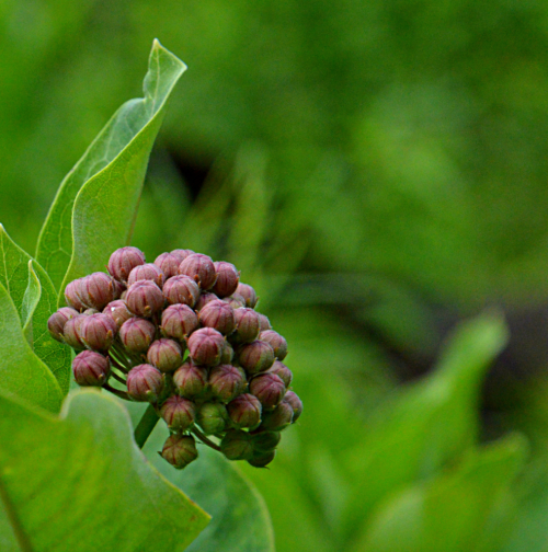Milkweed in bud