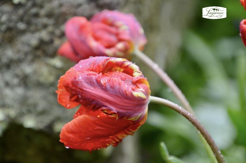 Tuliproccoco