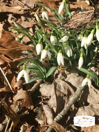 Snowdrops with bees