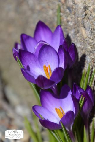 Purple early crocus