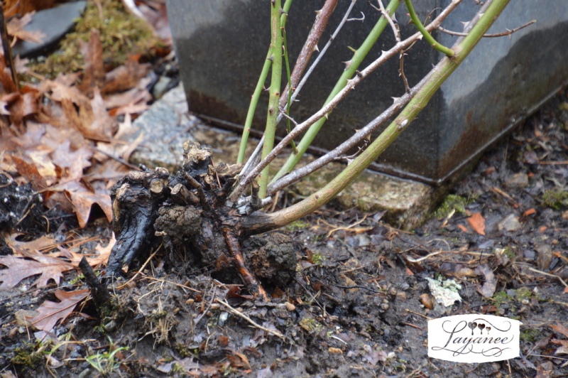 Heaved rose roots