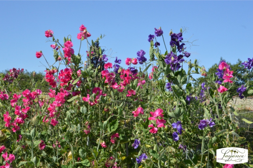 A Riot of sweet peas