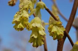 Corylopsis_spicata