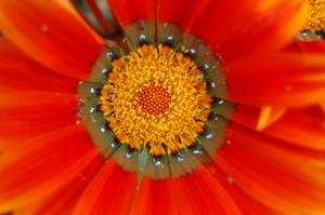 African_daisy_3