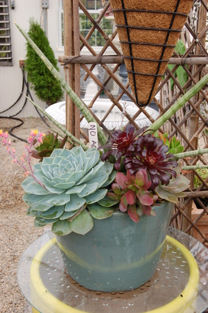 Succulents_in_container