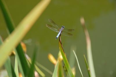Dragonfly_blue