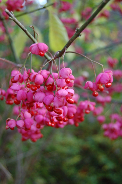 Closeup_ea_berries