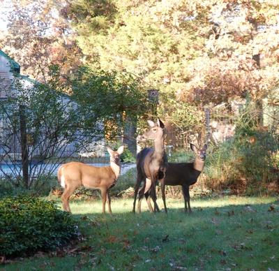 Deer_in_the_acorns_2